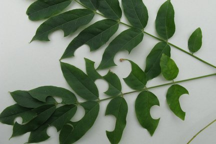 disk cut leaves